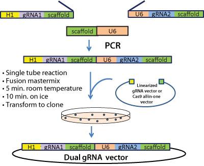 dual gRNA vector