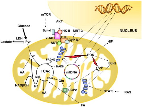 Schematic illustration of the main mitochondrial changes frequently occurring in cancer cells gr2