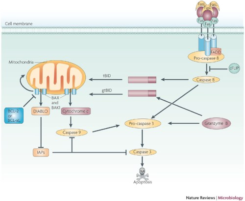 Activation of caspase 3 and caspase-dependent apoptosis  nrmicro2071-f1