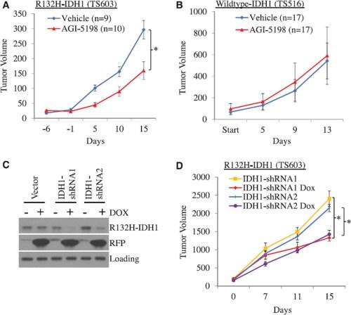 AGI-5198 impairs growth of IDH1-mutant glioma xenografts in mice