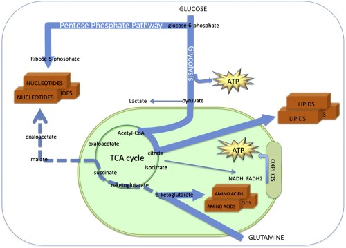 Energy metabolism at the crossroad between catabolism and anabolism.