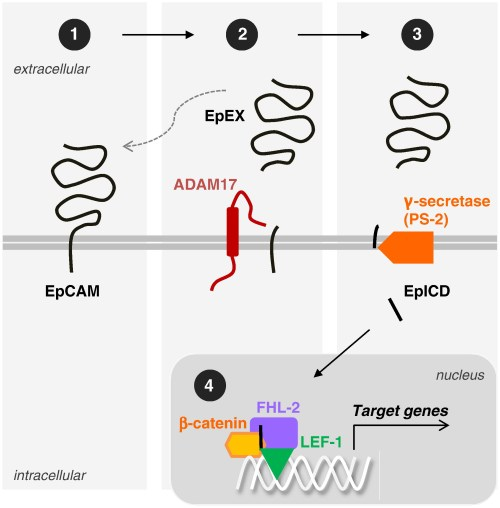 EpCAM as a substrate for regulated intramembrane proteolysis (RIP).