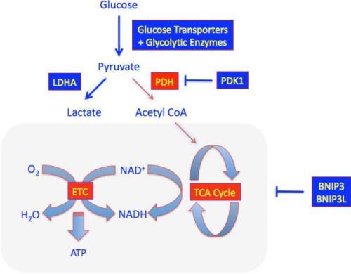Regulation of Glucose Metabolism nihms-350382-f0001