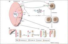 Vascular cells have key roles in morphogenesis and regeneration