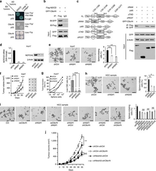 C8orf4 interacts with NOTCH2 that is required for the self-renewal maintenance of liver CSCs