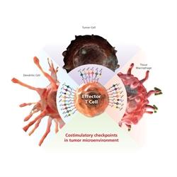Inhibitory costimulatory checkpoints_eBioscience_Fig12031112116