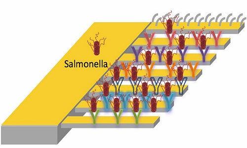 Salmonela on Sensitive cantilvere