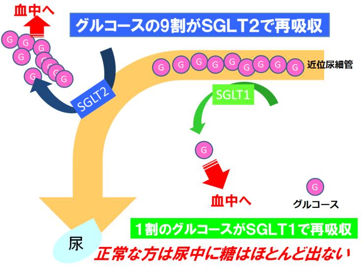 【SGLT2阻害】健康な方の近位尿細管