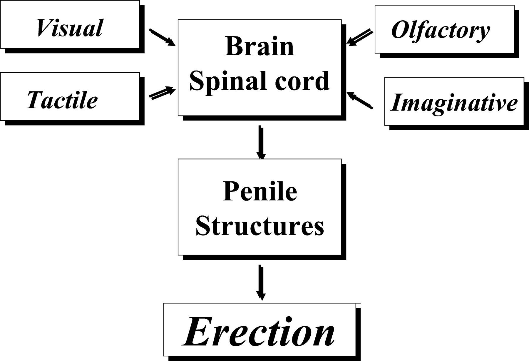 Pharmacology Of Penile