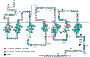 International Union of Pharmacology XXXVII Nomenclature for Leukotriene and Lipoxin Receptors