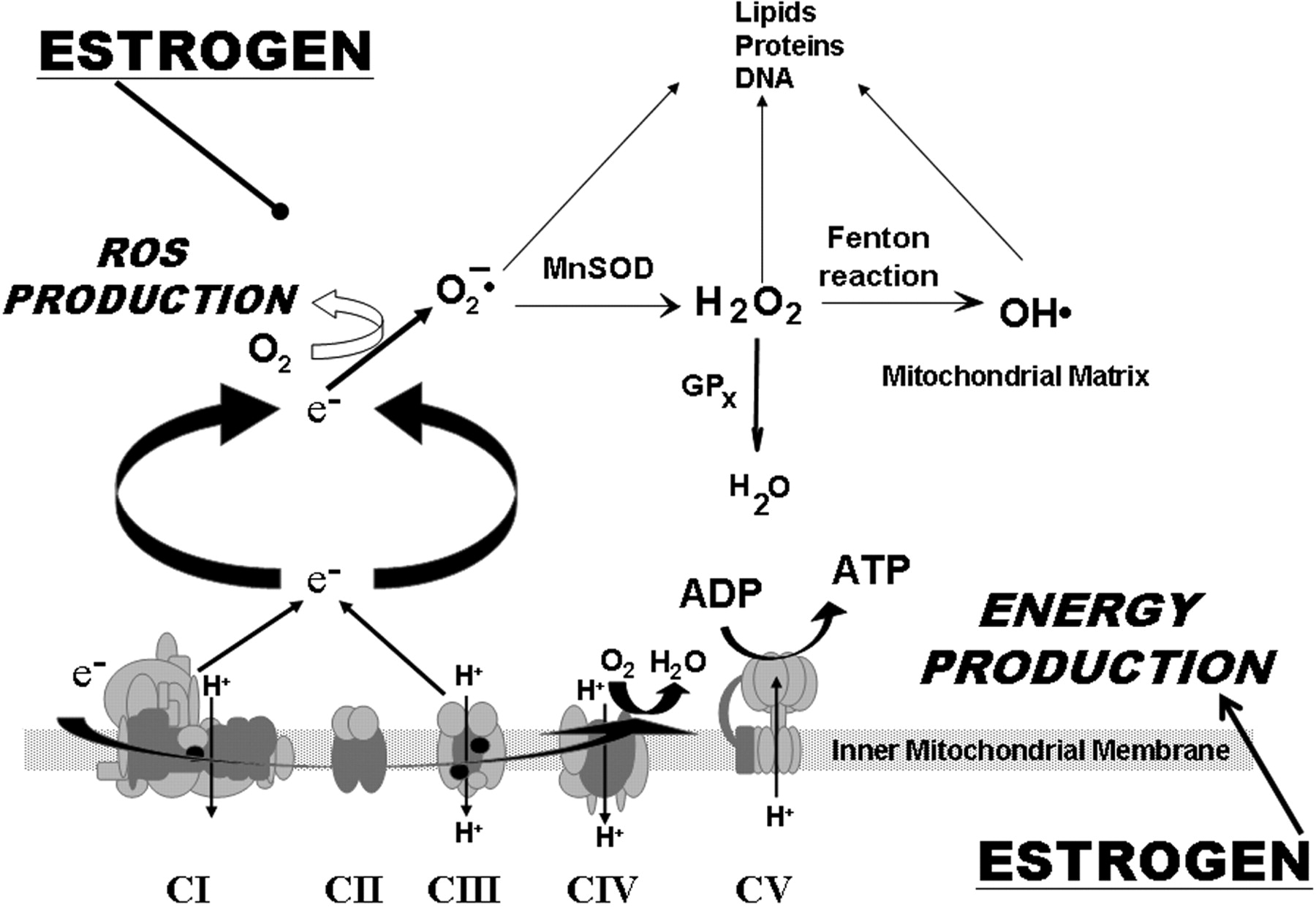 Vascular Actions Of Estrogens Functional Implications