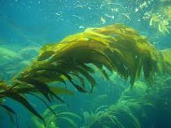 Pacific kelp