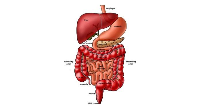 SynoGut - Digestive health
