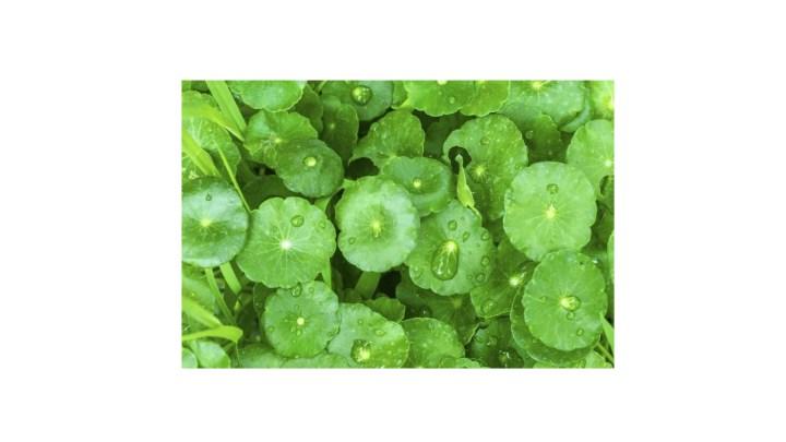 Total Revive Plus Ingredients -Gotu Kola or Centella Asiatica