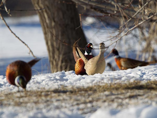Pheasant roosters and hen