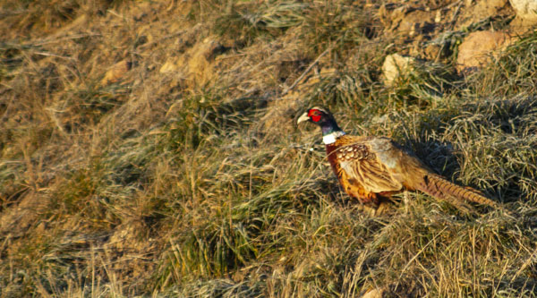 ACA Pheasant and Hun Population Forecast