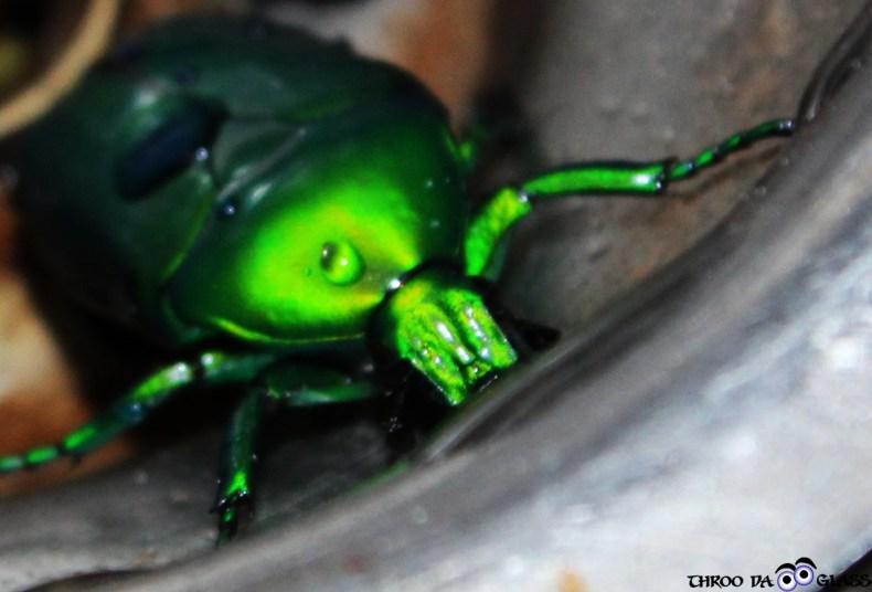 U, unique, nature,critter,beetle,wednesday,abc,wordless,praveen,pravs,karnataka,bangalore,throo da looking glass