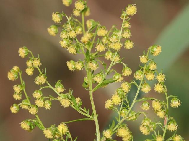 Artemisinin plant