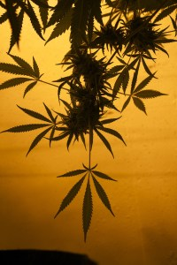 Milton's Featured Application: Cannabinoid Separation by SFC