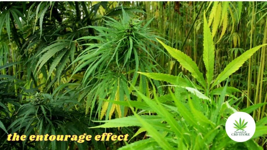 The Entourage Effect – Cannabis