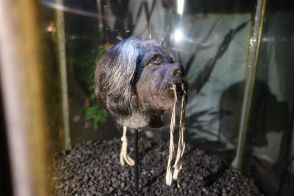 Echter Schrumpfkopf im Pumapungo-Museum