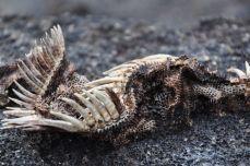 Leguane häuten sich manchmal - übrig bleibt diese Haut