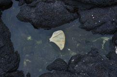 Schulterblatt eines Seelöwen