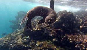 still sea lion