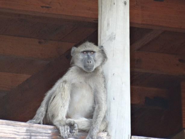 Monkey in South Africa - award flight IAD to JNB