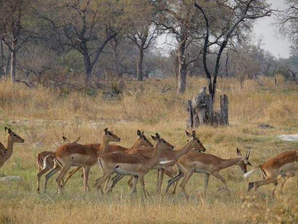 Impala group in Botswana seen on walking safari in Okavango Delta