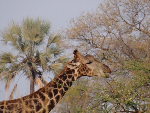 Giraffe Botswana on walking safari in Okavango Delta mokoro