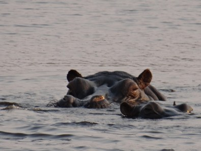 Hippo - Chobe River
