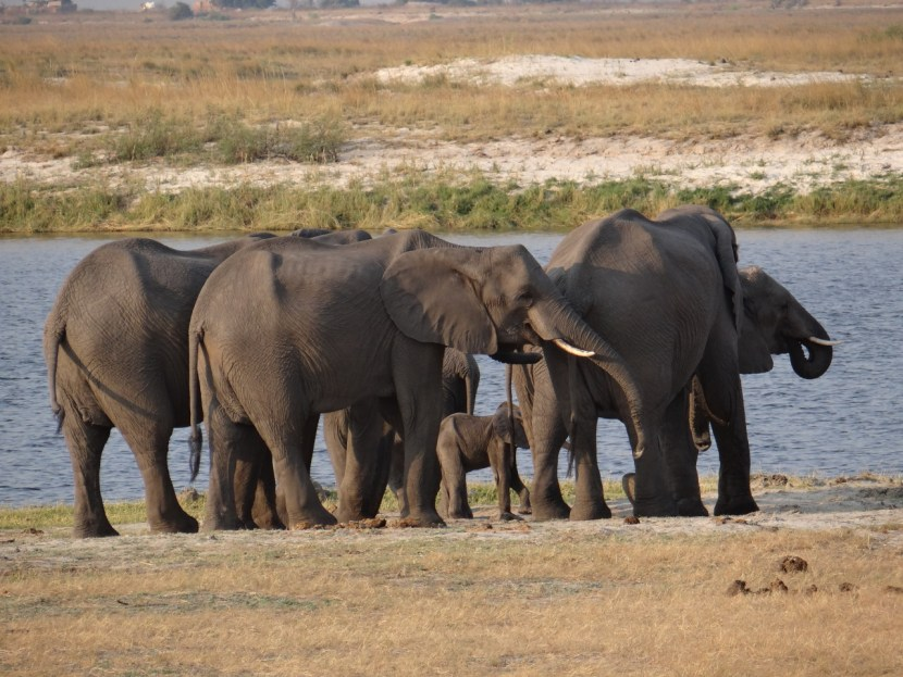 Elephants in Chobe Botswana