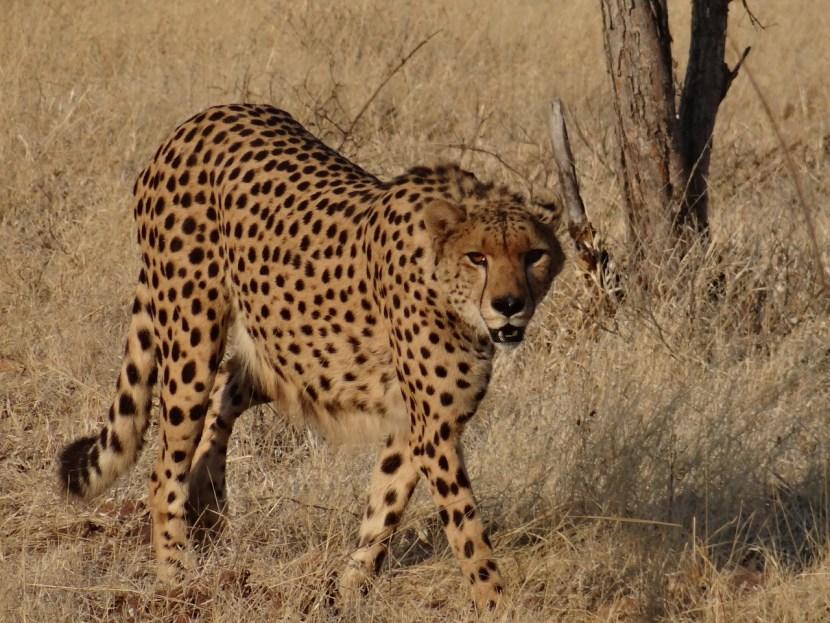 Hotel Cheetah Sylvester at Elephant Camp