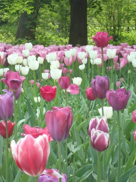 Keukenhof Tulips Amsterdam