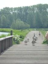 Traffic jam of ducks