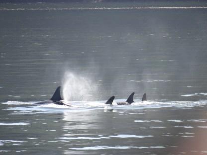 Orca Pod Friday Harbor