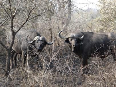 Cape Buffalo pair on safari