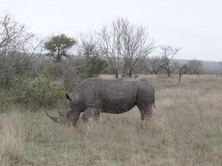 Rhino in South Africa Big5