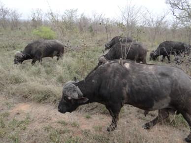 Buffalo herd grazing safari south africa