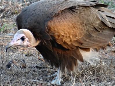 Vulture safari