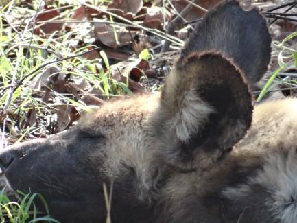 African Wild Dog sleeping in