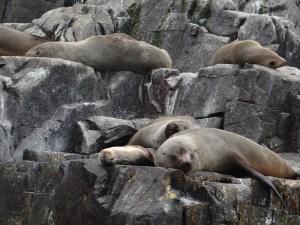Seals along coastline of Tasmania