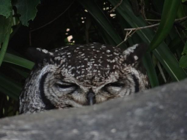 Nesting Owl at Kirstenbosch