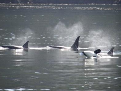 Pod of Orcas San Juan Islands