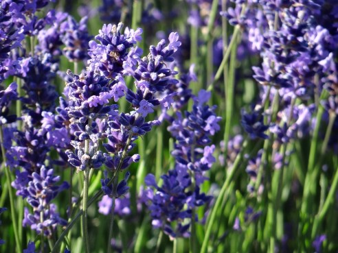 Hitchin Lavender flowers of england