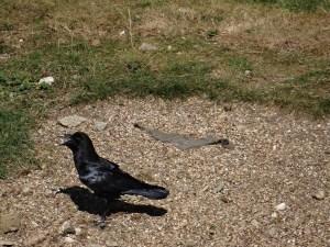 Tower of London tour Ravens
