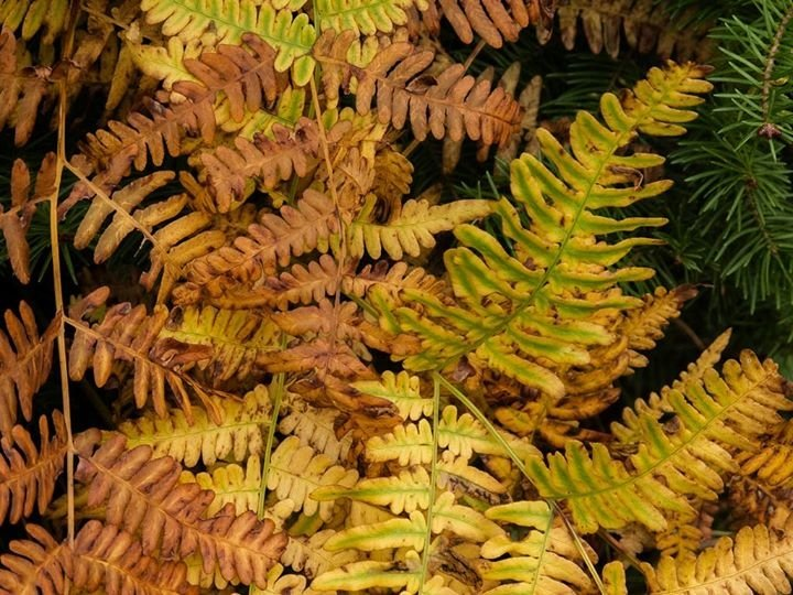 Fading Ferns