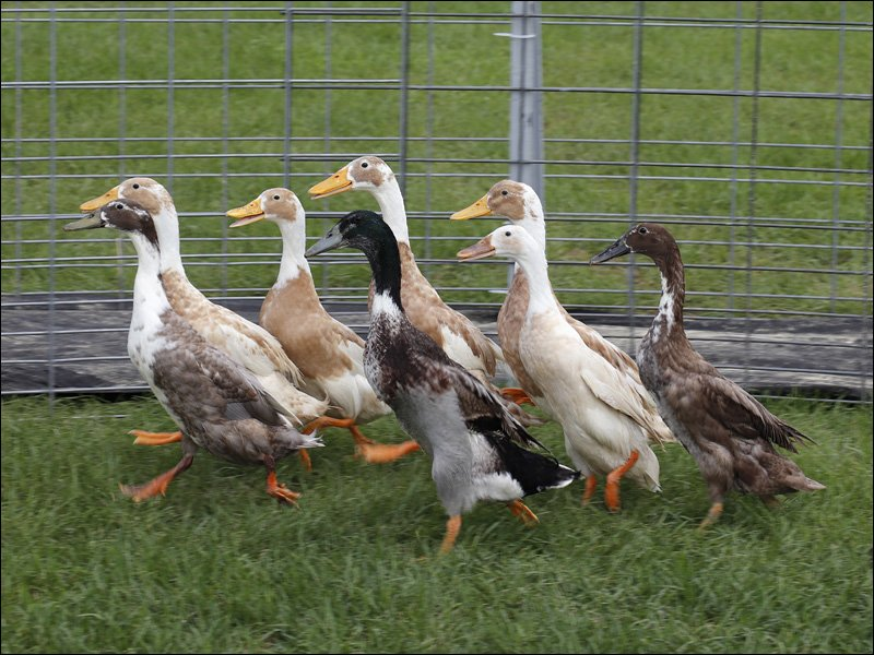 The Racing Ducks