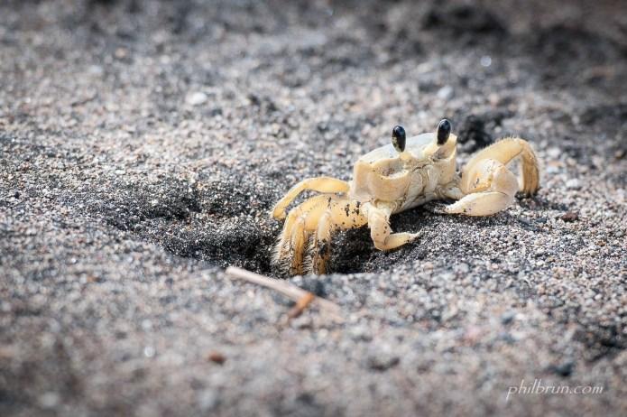 Crabe blanc des sables de l'île Dominique